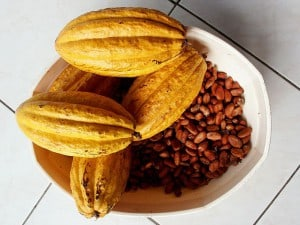 Kakaobohne mit Samen. Autor: Fpalli, Wiki Commons (B1)