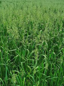 Ein Feld aus grünem Hafer. Autor: H Zell (B1)