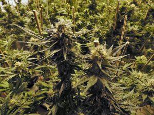 Kostenübernahme Cannabis Krankenkasse