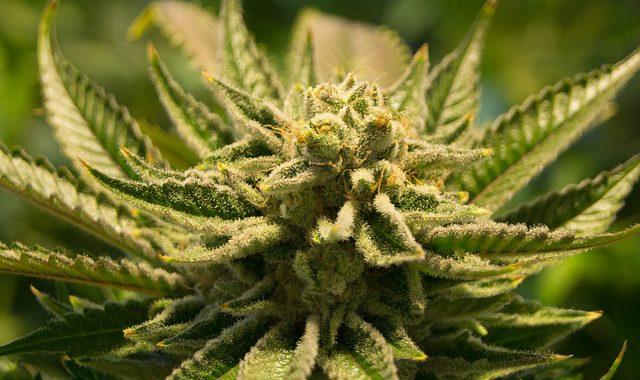 Cannabis-Tee-Zubereitung